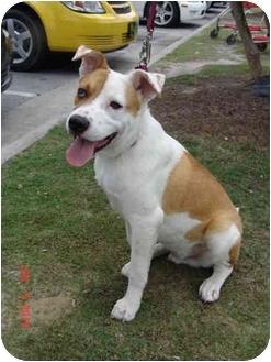 Hound (Unknown Type)/American Bulldog Mix Puppy for adoption in Jacksonville, North Carolina - Jackson