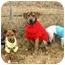 Photo 2 - Beagle Mix Dog for adoption in Muldrow, Oklahoma - Zoe