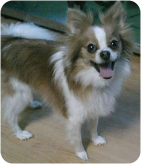 Papillon/Pomeranian Mix Dog for adoption in Struthers, Ohio - Gizmo