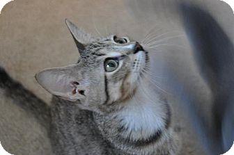 Domestic Shorthair Kitten for adoption in Carlisle, Pennsylvania - Tuck