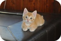 Domestic Shorthair Kitten for adoption in Tampa, Florida - Butterscotch