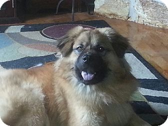 Chow Chow Mix Dog for adoption in Tallahassee, Florida - Simba
