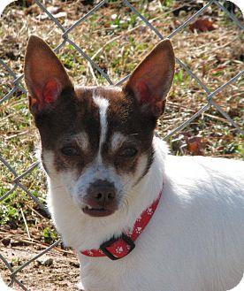 Chihuahua Mix Dog for adoption in Marietta, Georgia - Cooper