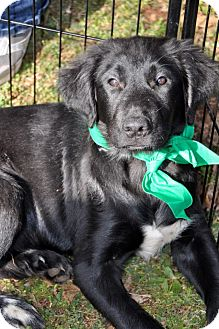 Labrador Retriever Mix Puppy for adoption in Huntsville, Alabama - Jasper