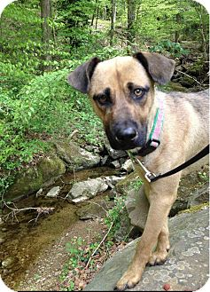 Shepherd (Unknown Type)/Rhodesian Ridgeback Mix Dog for adoption in Jersey City, New Jersey - Betty Draper Francis