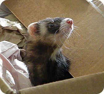 Ferret for adoption in Indianapolis, Indiana - Diva