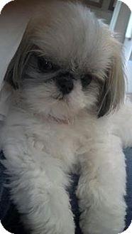 Shih Tzu Dog for adoption in Seattle c/o Kingston 98346/ Washington State, Washington - Lily OH