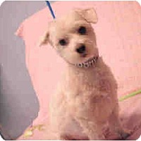 Adopt A Pet :: Tommie