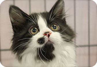 Domestic Longhair Kitten for adoption in Lombard, Illinois - Penne