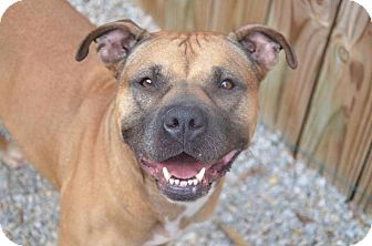 American Pit Bull Terrier Mix Dog for adoption in South Park, Pennsylvania - Kindell