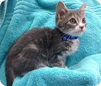 Domestic Shorthair Kitten for adoption in Orlando, Florida - Ike