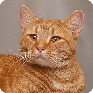 Domestic Shorthair Cat for adoption in Cary, North Carolina - Morris--ADOPTED