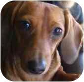 Dachshund Dog for adoption in Provo, Utah - SHASTA