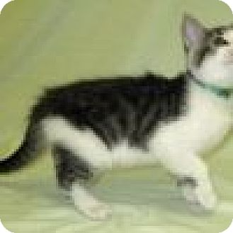 Domestic Shorthair Cat for adoption in Powell, Ohio - Benny
