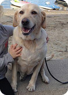 Labrador Retriever/Labrador Retriever Mix Dog for adoption in Burbank, California - Lola