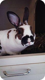 Mini Rex Mix for adoption in Watauga, Texas - Ernie