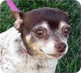 Chihuahua Dog for adoption in Downey, California - Jazzy