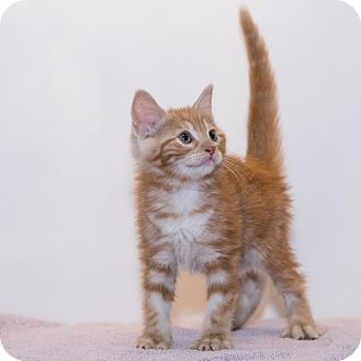 Domestic Shorthair Kitten for adoption in Houston, Texas - Puff