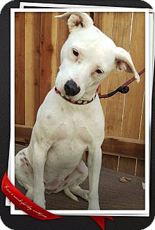 Cattle Dog Mix Dog for adoption in Apache Junction, Arizona - Raylee
