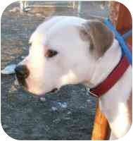 American Pit Bull Terrier/American Staffordshire Terrier Mix Dog for adoption in All of Colorado, Colorado - URGENT <b>Mulan</b>
