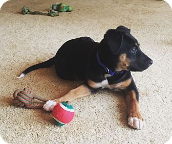 Shepherd (Unknown Type) Mix Puppy for adoption in Chattanooga, Tennessee - Bella