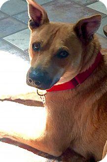 Labrador Retriever/Shepherd (Unknown Type) Mix Dog for adoption in Costa Mesa, California - Casey