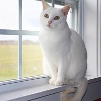 Domestic Shorthair Cat for adoption in Thibodaux, Louisiana - Sugar    Fe2-8869