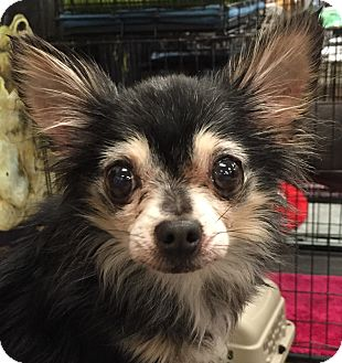 Chihuahua Dog for adoption in geneva, Florida - Precious
