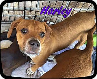 Terrier (Unknown Type, Medium) Mix Puppy for adoption in Ahoskie, North Carolina - Harley