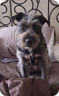 Schnauzer (Standard) Mix Dog for adoption in Freeport, New York - Sigmund (Siggy)