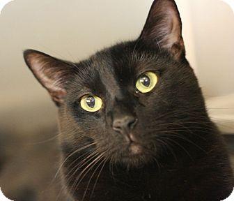 Domestic Shorthair Cat for adoption in Canoga Park, California - Elvis