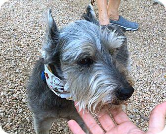 Schnauzer (Miniature) Mix Dog for adoption in Phoenix, Arizona - Daniel