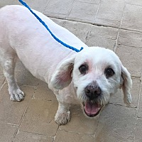 Cockapoo Mix Dog for adoption in Cape Coral, Florida - Scooter