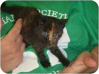 Domestic Shorthair Kitten for adoption in Mason City, Iowa - Baby