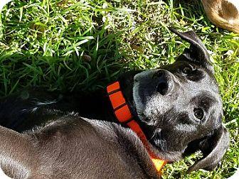 Labrador Retriever Mix Dog for adoption in Austin, Texas - Hawkins