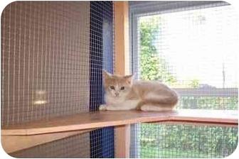 Domestic Shorthair Kitten for adoption in Jeffersonville, Indiana - Monty