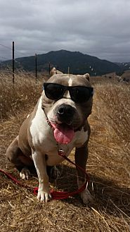Pit Bull Terrier Mix Dog for adoption in Petaluma, California - Bentley