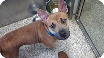 Pit Bull Terrier Mix Dog for adoption in Fremont, Ohio - Tank