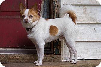 Chihuahua Mix Dog for adoption in Battle Creek, Michigan - Tidbit