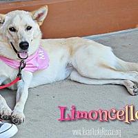 Adopt A Pet :: Limoncello - Carrollton, TX
