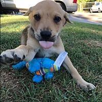 Adopt A Pet :: Athena - BONITA, CA