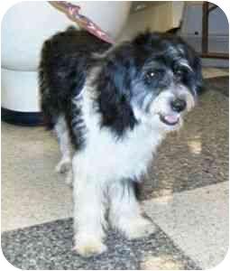 Tibetan Terrier Mix Puppy for adoption in Berkeley, California - Corey