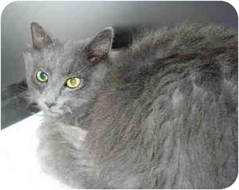 Domestic Mediumhair Cat for adoption in San Clemente, California - BLUEBELL