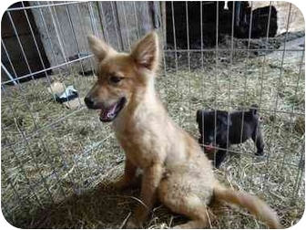 German Shepherd Dog/Collie Mix Puppy for adoption in Rochester, New Hampshire - Daren