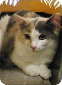 Domestic Mediumhair Cat for adoption in Modesto, California - Shell