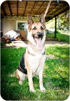 German Shepherd Dog Dog for adoption in Howell, Michigan - Sammi- video