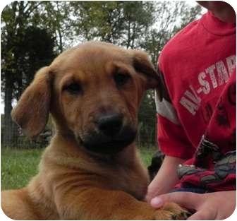 Golden Retriever/Sheltie, Shetland Sheepdog Mix Puppy for adoption in Foster, Rhode Island - Gilbert