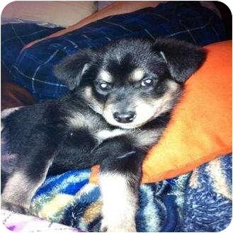 Border Collie Mix Puppy for adoption in Saskatoon, Saskatchewan - May