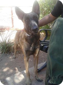 Belgian Malinois Mix Dog for adoption in Phoenix, Arizona - Ripp