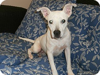 Pit Bull Terrier/Labrador Retriever Mix Dog for adoption in Broadway, New Jersey - Wendi
